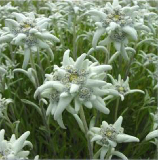 Read more about the article Are you an Edelweiss Lover?  Right here in Canada!